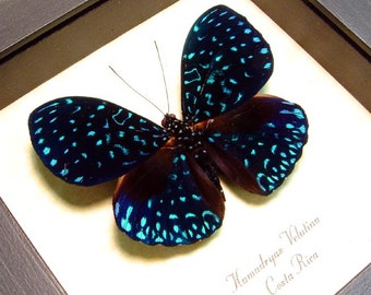 Real Framed Starry Night Real Van Gogh Blue Butterfly Costa Rica 681
