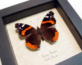 Red Admiral Venessa Real Framed Butterfly Conservation Display  6285