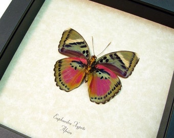 Colorful African Real Conservation Butterfly Display 442