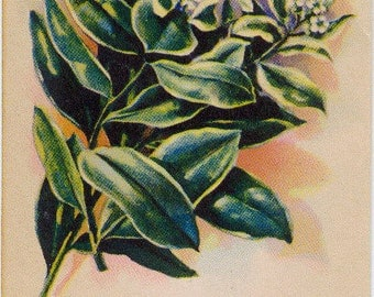 EUPHORBIA! (Snow on the Mountain) Vintage flower seed packet Tucker's Seed House lithograph (Carthage, Missouri)