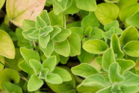 Greek Oregano Herb Seeds
