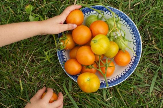 Jaune Flamme Orange Tomato Seeds