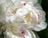 White Peony Flower Photograph macro fine art romantic floral nature photography shabby cottage chic traditional home decor 5x7 8x10 11x14
