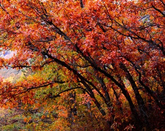 Fall Leaves Scrub Oak Rust Oaks Autumn Red Colorado Rustic Cabin Lodge Photograph
