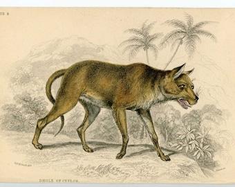 1836 dhole of ceylon original antique animal engraved print - wild dog