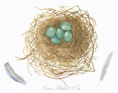 Bird Nest-Eggs/BOTANICAL ILLUSTRATION/Archival Giclee Print/ Eastern Bluebird/Bird Feathers
