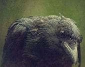Rainin' on Raven 8 x 8 Fine Art Photograph of Raven Caught in Rain