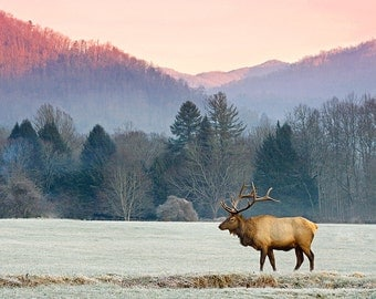 Bull Elk at Sunrise in the Great Smokies, Wildlife Photography, Fine Art Photo Print, Oconaluftee, Cataloochee, Home Decor, Pastel, WNC