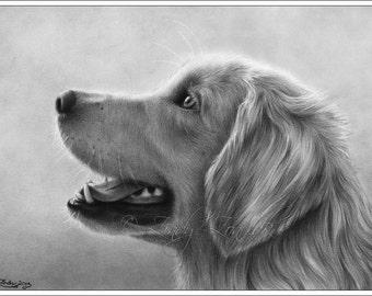 Golden Retriever Cute Dog Portrait Animal Sweet Puppy Pet Canine Zindy Nielsen