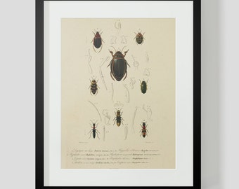 Insect Coleopteres Entomology Plate 3A