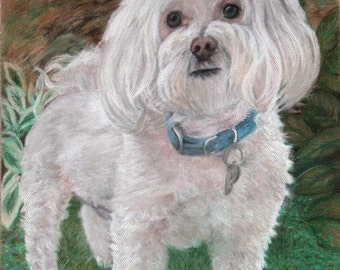 Pastel Drawing - Maltese