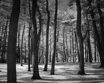 Pine Tree Grove in Garfield Park Grand Rapids Michigan No.095 A Black and White Infrared Fine Art Photograph