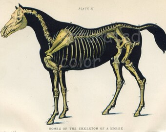 Vintage Horse Art - High Res DIGITAL IMAGE to print and frame - pillows, totes & cards ~ Antique Horse Vet Chromolithograph ~Horse Print