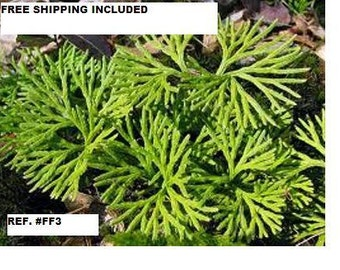Ground Cedar Evergreen Ground Cover Fern 10 feet starter plants FreeShipping seeds more by spore release