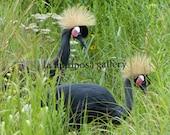 Original Fine Art Photo of Black Crowned Cranes in Wisconsin