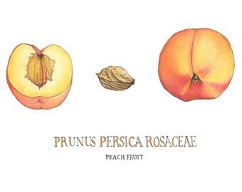 Peach, Watercolor Botanical Illustration, Art Print
