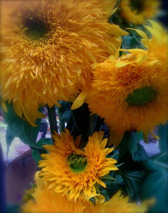 Heirloom Teddy Bear Sunflower Seeds