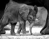 Photograph of Baby Elephant in Black and White