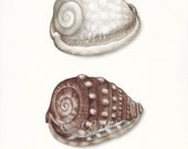 Coastal Decor Sea Shell Giclee Art Print - Two Atlantic Helmet Shells 8x10