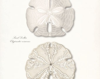 Coastal Decor Sea Shell Giclee Art Print - Two Sand Dollar Sea Shells  8x10
