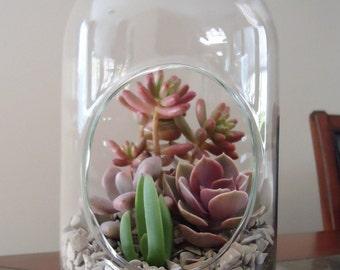 """12"""" Succulent Terrarium-LG Capsule  Terrarium W/ Plants"""
