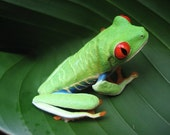Small Green Frog