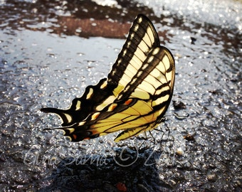 "The Swallowtail Butterfly  11"" x 14"" Photograph"