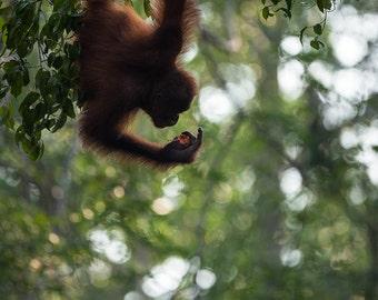 Orang Utan photography, monkey photograph print, nursery wall art, jungle home decor, kids children teen room decoration - cute animal art