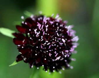 Heirloom 250 SEEDS Scabiosa africana Pincushion Mourning-bride Black Knight Flowers B3126