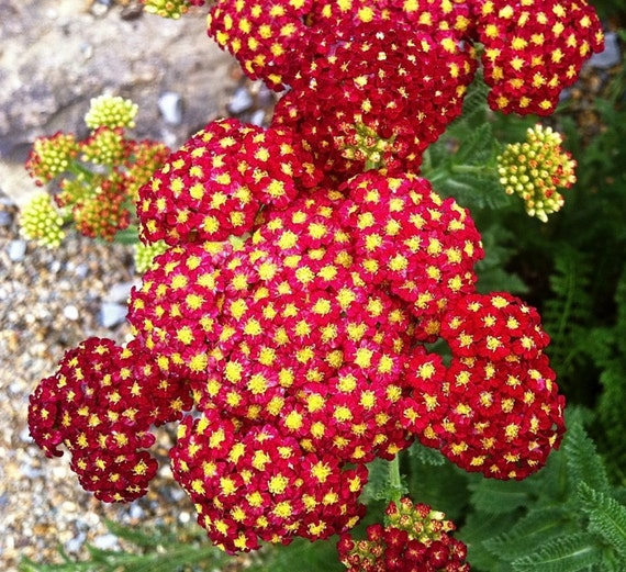 Heirloom 1000 Seeds Achillea millefolium Yarrow Sneezewort Paprika mix Flower Bulk Seeds S009