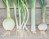 Food Photography - Kitchen Art - Onions Photograph - 8x10 Fine Art Photography Print - Green Gray White Home Decor