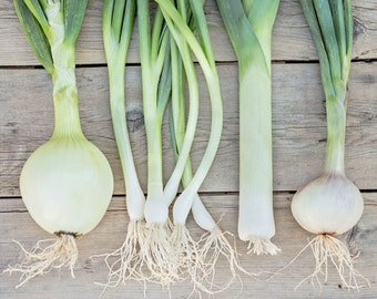 Food Photography - Kitchen Art - Onions Photograph - Dining Room Decor - Food - Fine Art Photography Print - Green Gray White Home Decor