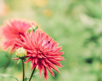 Flower Photography - Dahlia Photography - Garden Photo - Fall Photo - Flowers - Fall - Fine Art Photography Print - Red  Green Home Decor