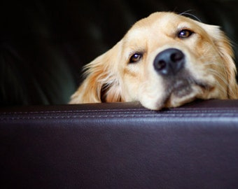 Just Lounging, Dog Photography, Golden Retriever Notecard Set