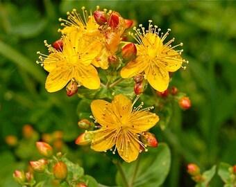 St. John's Wort - Hypercium perforatum - SEEDS - medicinal herb
