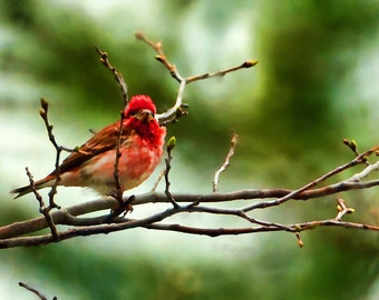 Red Song Bird Digital Painting