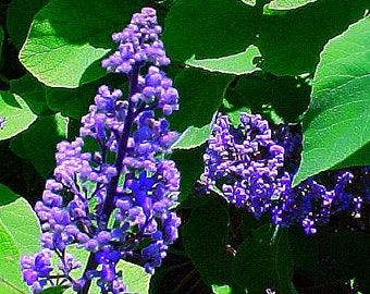 Jamaican Lilac, Cornutia grandifolia, 5 rare seeds, fragrant foliage, flowering shrub hedge, sun or shade, easy in warm zones, great bonsai