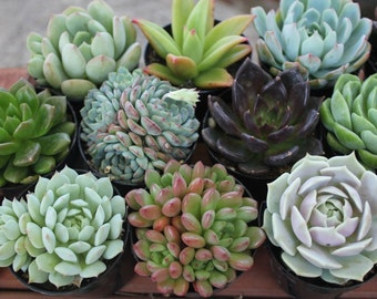 "20 Gorgeous ROSETTE Succulents in their 2.5"" round plastic containers Ideal for Wedding FAVORS party gifts"