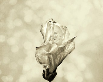Minimalist Black and White Sepia Hibiscus Flower II - Fine Art Photograph Print Picture