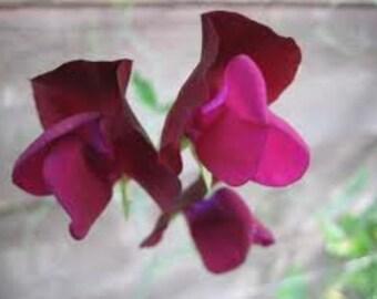 Sweet Pea Beaujolais, Fragrant Heirloom Plant, 10 Seeds