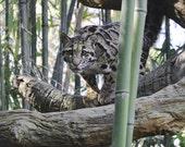 Clouded Leopard, Wild Cat, Woods, Bamboo, Animals of Prey, Wildlife, 8 x 10 print
