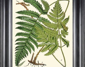 ANTIQUE FERN Lindman  Botanical Art Print 11 Antique Beautiful Green Ferns Forest Nature Natural Science to Frame Wall Decor