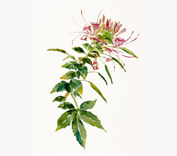 Garden spider flower twig digital download from original watercolor , country illustration painting clip art