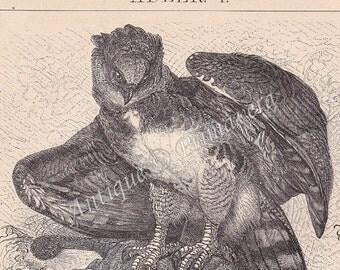 1898 Eagles - Harpy Eagle and Golden Eagle Antique German Engraving