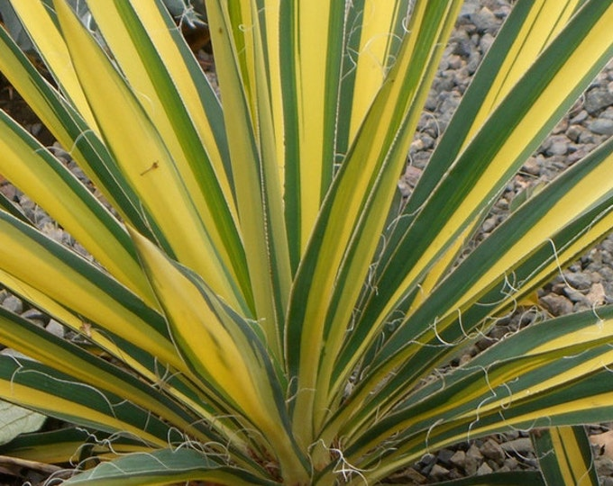 Yucca Color Guard Adams Needle Plant Organic Grown Shipped in 4 inch Container, with soil.