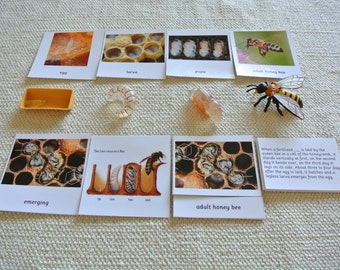 Montessori Life Cycle of a Honey Bee 5 Parts Cards with miniatures