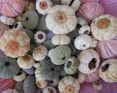 30 pcs(multi color) red- green- sputkin sea urchins. Summer collection, a real sea treasure.