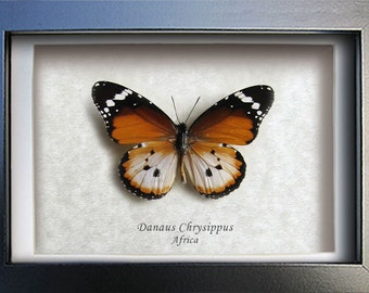 African Monarch Plain Tiger Real Framed Butterflies In Museum Quality Shadowbox