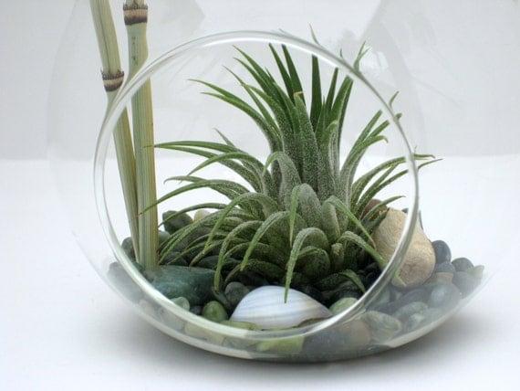 Terrarium kit jade cove air plant tillandsia by williamsgrove - Kit terrarium plante ...