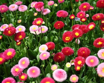 Bellis Seeds - Mix (Bellis Perennis Super Enorma ) shades ranging from white to red.Plants are excellent garden performance.